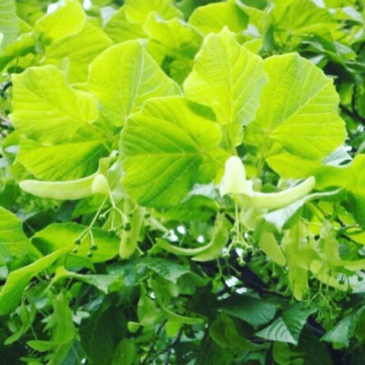 haughton lime trees